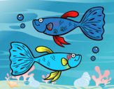 Peixes guppy