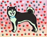 Cão Akita Inu