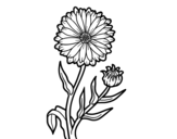 Desenho de Calêndula para colorear