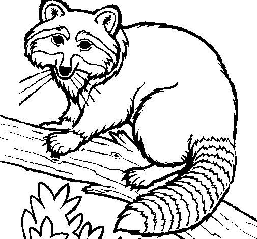 Desenho de guaxinim para colorir - Coloriage raton laveur ...