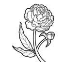 Desenho de Peónia para colorear